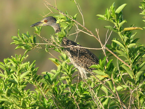 Yellow-crowned Night-Heron 20100719