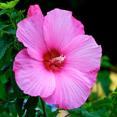Super Sized (Road Fun) Tags: pink vacation white green yellow sanantonio texas very large hibiscus flowerplant afsdxvrzoomnikkor55200mmf456gifed