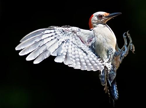 フリー写真素材, 動物, 鳥類, キツツキ科, シマセゲラ,