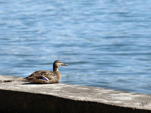 Ente am Bodensee