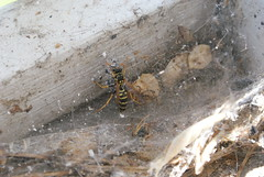 wasp stuck in a spider web (10)