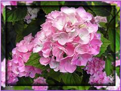 Hydrangea macrophylla (tadelloeser ) Tags: life summer paris flower color love beauty sunshine closeup peace affection blossoms violet happiness delight gift frame hydrangea bouquet brightness flowerpower sympathy hortensie rilke loveletter nearness hydrangeamacrophylla sanguinity tadelloeser nikonp90