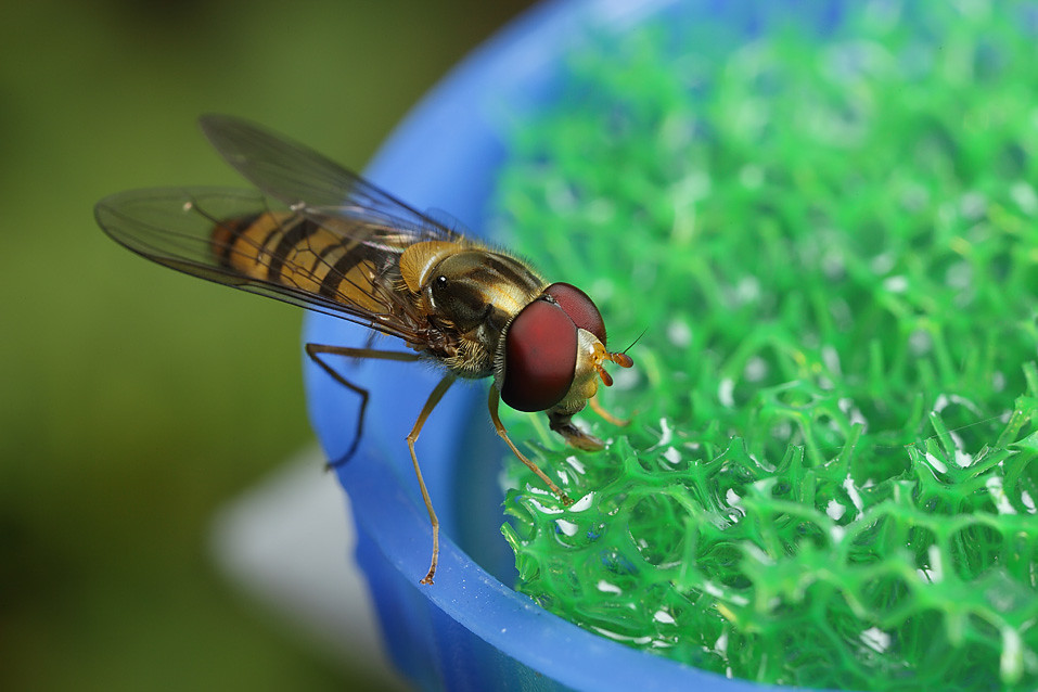 Marmalade hoverfly on artificial flower feeder