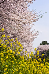 Cherry & Rape Blossoms (ogr) Tags: flower zeiss cherry rebel 50mm prime contax sakura planar carlzeiss zeiss50mmf14 aej planart1450 canoneos450d lightroom3 canoneoskissx2 gettyimagesjapan12q1