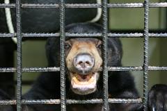 Sun Bear (**Hlne**) Tags: july sarawak malaysia borneo 2010 mwc honeybear sunbear malaybear matangwildlifecenter