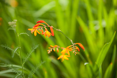 Flower (Victor van Dijk (Thanks for 3.8M views!)) Tags: flowers favorite orange plants flower green grass yellow canon dof bokeh fave creamy faved 135l victormk1 wwwvictorvandijkcom