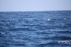 orca (Olaya Garcia) Tags: sea wild water canon eos mar agua mediterraneo killer whale orca gibraltar strait tarifa estrecho atlantico orcinus avistamiento orque turmares whalewhatching epaulard 1000d