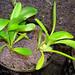 Masdevallia infracta seedlings (2010-07-30)