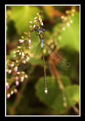 Emerald Damselfly (Stephen Duffy Images) Tags: canon surrey common omnibounce ef100mmf28macrousm chobham eos5d sigmaef530dg ef25mmextensiontube