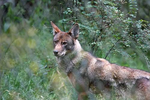 wolf dave harper oakley