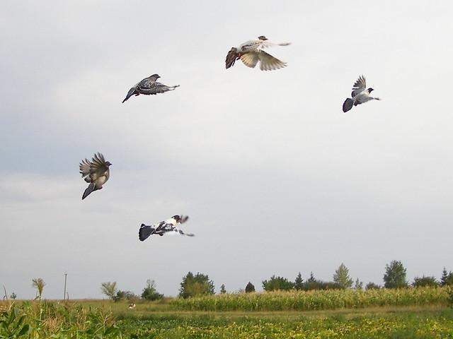 Пять летящих голубей