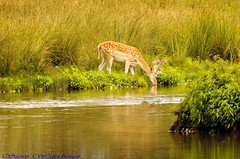 YOUNG BUCK FALLOW DEER DRINKING (spw6156 - Over 5,065,001 Views) Tags: lake water pond drinking soe naturesfinest yourpreferredgroup croppedcopyrightstevewaterhouse youngbuckfallowdeer500mmlenshandheldiso400