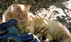 Very Special geniest den Sommertag (Raymonde) Tags: cats pets katze siberian katzen siberiancat sibirische cinnamonmackereltorbie