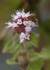 Pyrausta moth on Water Mint