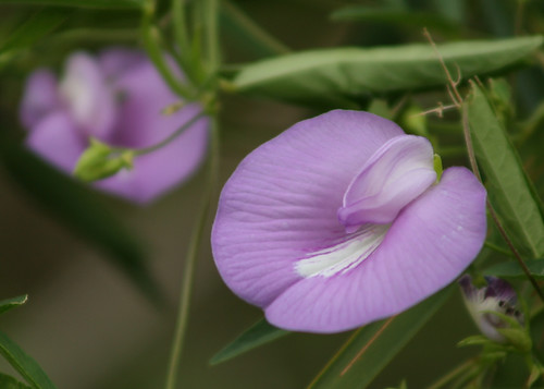 "Spurred Butterfly Pea Flower Using WB Mode ""Cloudy"" Setting"