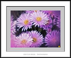 Festival en prpura (Jose Luis Mieza Photography) Tags: flowers flores flower fleur fleurs flor benquerencia florews reinante jlmieza reinanteelpintordefuego joseluismieza