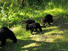 Bear sow with 3 cubs in forest