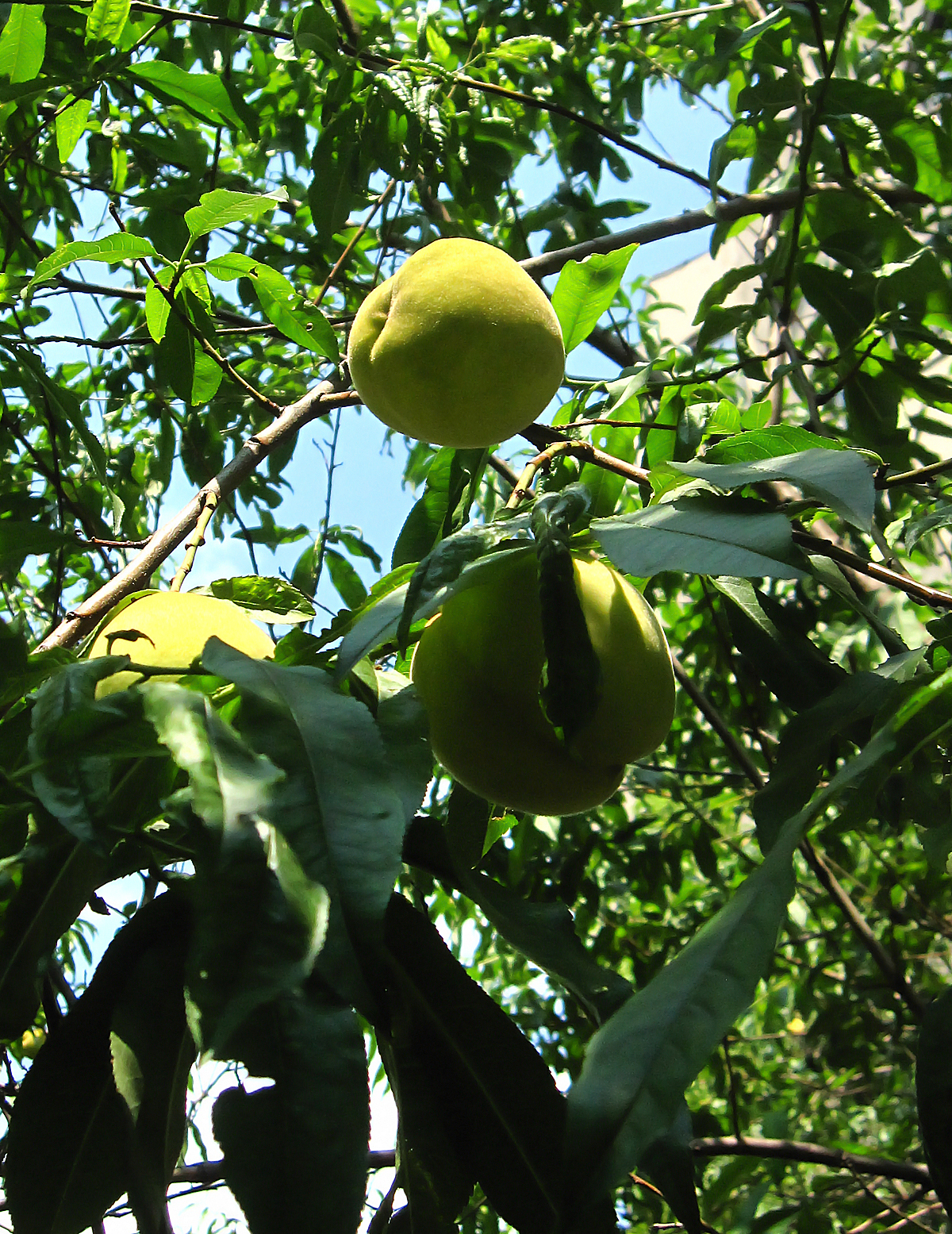 Peach Tree Garden