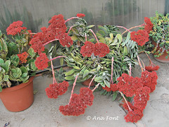 Crassula falcata (Coleccion de cactus Ana Font) Tags: crassula suculenta falcata