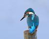 What was that !!! (Andrew Haynes Wildlife Images) Tags: bird nature wildlife kingfisher warwickshire brandonmarsh canon7d ajh2008