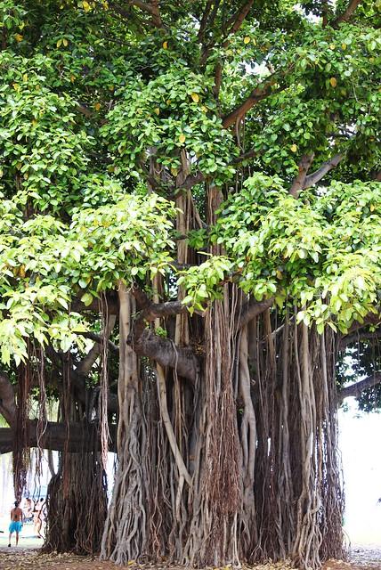 Bayan Tree