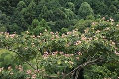 瀬上市民の森のネムノキ(Segami Community Woods)