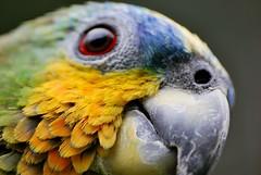 Macro - Close Up of Rogelio (CAUT) Tags: macro bird closeup amazon nikon colombia sigma parrot ave animalplanet loro d60 amazonparrot lorito sigma70300mm nikond60 sigma70300apomacro amazónico loroamazónico sanantoniodeltequendama mesitasdelcolegio