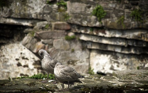 Fledglings Inside Conwy Castle