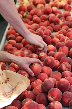 selecting peaches