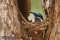 Blue-faced Honeyeater - Entomyzon cyanotis (puffinbytes) Tags: birds animals australia aves qld queensland bluefacedhoneyeater entomyzon entomyzoncyanotis cairns animalia passeriformes chordates chordata meliphagidae honeyeaters meliphagoidea mountmolloy taxonomy:order=passeriformes taxonomy:class=aves taxonomy:kingdom=animalia taxonomy:phylum=chordata taxonomy:family=meliphagidae taxonomy:common=bluefacedhoneyeater taxonomy:binomial=entomyzoncyanotis taxonomy:genus=entomyzon spb:country=au spb:pty=w spb:lid=0047 taxonomy:suborder=meliphagoidea honeyeatersandallies spb:id=00ld taxonomy:species=cyanotis spb:species=entomyzoncyanotis spb:pid=01mb