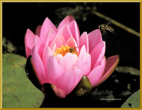 Hoverflies on Pond Lily