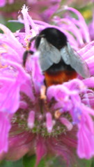Large red bottomed bee (sarahgb(theoriginal)) Tags: sgb thewirral nessbotanicalgardens