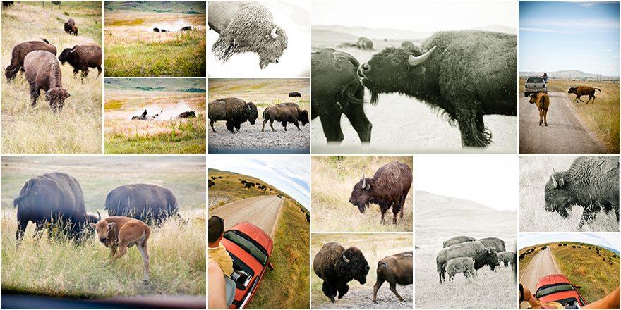 plethora bison