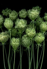 32780 Daucus carota (horticultural art) Tags: flowers getty bouquet horticulture daucuscarota queenanneslace daucus wildcarrot horticulturalart 136487017