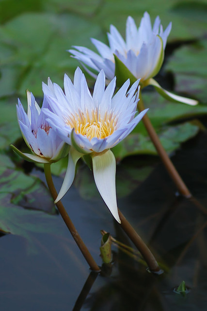 Water lilies 4, at the Jewel Box, in Forest Park, Saint Louis, Missouri, USA