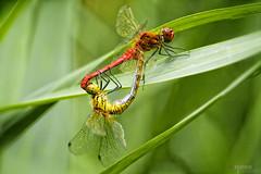 My Upside-down Heart... (Vemsteroo) Tags: uk macro dragonfly wildlife norfolk insects micro nationaltrust damselfly eastanglia commondarter ruddydarter wickenfen yellowwingeddarter 105mmvr nikond90