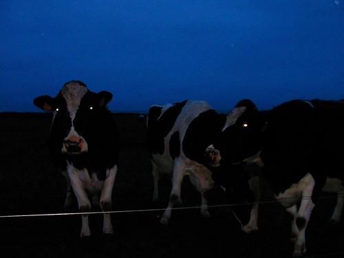 vacas de Rinlo posando