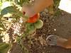 christine's tomato salad