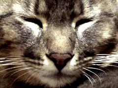 o gato da minha irm (Andrews Rodrigues) Tags: cute animal cat felino