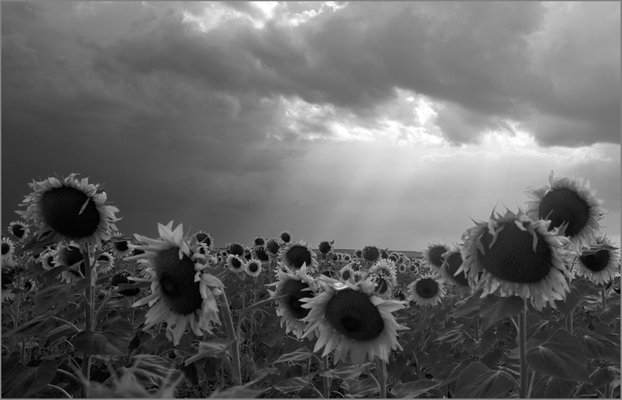 The World's Most Recently Posted Photos Of Girasoles And Y