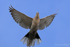 Steptopelia Decaocto (Collared Dove) (Tortora dal Collare) 2 (Sario79) Tags: tortora nature birds dove sigma nikond300 sigma120400