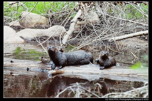 River Otter Family (Lontra canadensis)