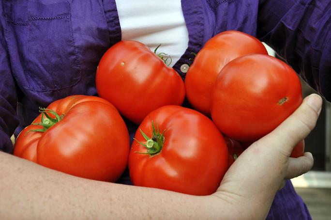 tomato harvest 1