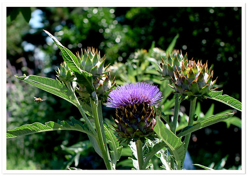 Cardoon & Bee