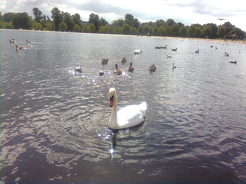 Swans, Round Pond, Hyde Park by Bookmouse