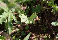 Upland Larkspur (Delphinium nuttallianum), leaf (Arboreal Boids) Tags: oregon alpine steens delphinium larkspur harneycounty delphiniumnuttallianum steensmountains uplandlarkspur