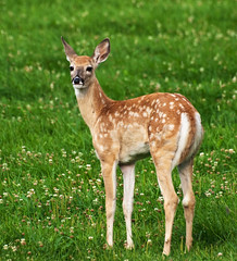 Whitetail fawn (photogramma1) Tags: nature animals deer fawn whitetail montanababy