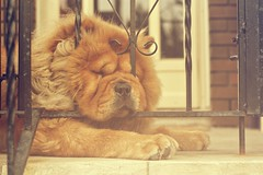 Comfy on the inside (MarianneLoMonaco) Tags: dog pet cute photography funny chow marianne lomonaco