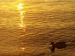 Liquid Gold (flickrolf) Tags: light sunset sun water gold duck ripples