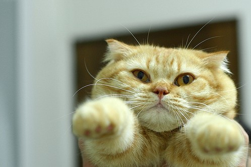cute scottish fold orange kitten flying cat pic